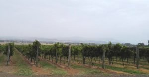 A Topographical Survey for a Rural Commercial Property by Realserve at Punt Roads Winery vines